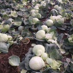 Gospodarstwo rolno-warzywne - Warzywa Miechów